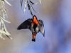 Awiirtanaha Red Breasted Robin