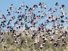 Flock of Galahs