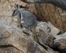 Yellow Footed Rock Wallaby Brachina Gorge