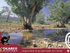 Postcard 6 Gum Tree by the creek