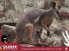 Postcard 7 Yellow Footed Rock Wallaby