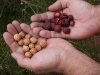 Urti (quandong) seeds and flesh