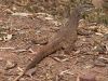 Sand Goanna lazing in the sun