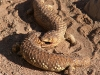 Two Shingleback Lizards